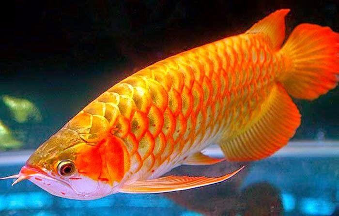 Ikan Arwana Ikan Aquarium Air Tawar Ikan Binatang