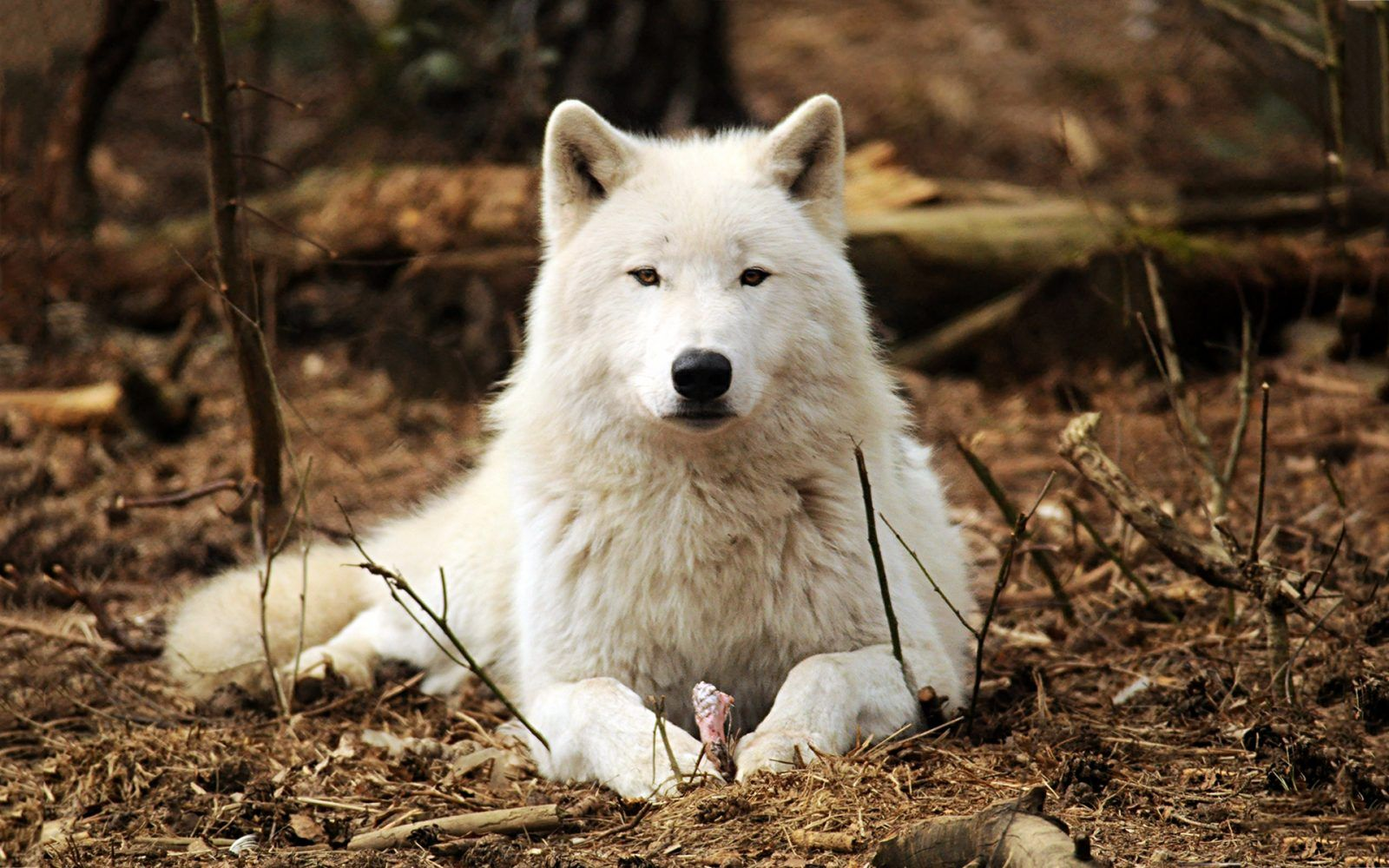 Img wolves pinterest wolf and animal