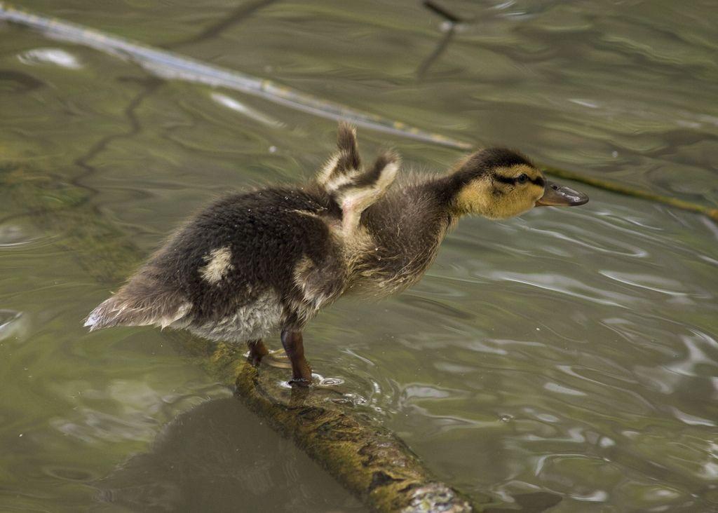 duckling Ducklings, Animals, Photo