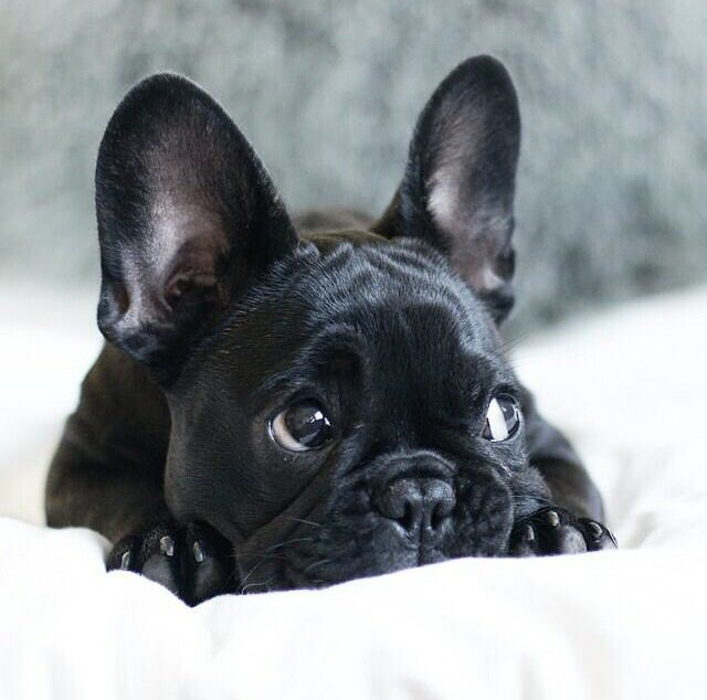 Frenchie Cute Small Dogs French Bulldog Puppies Cutest Small