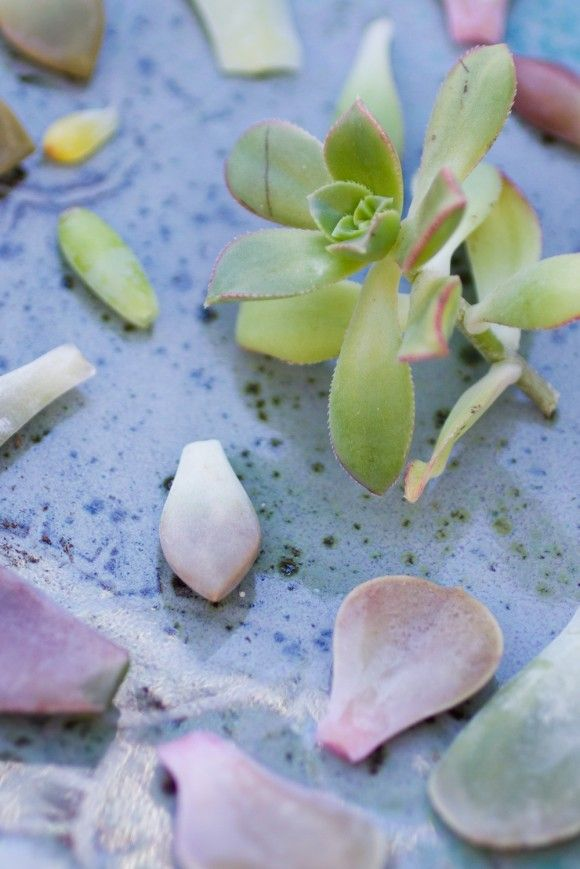 How to take clippings to from succulents to propagate more plants!