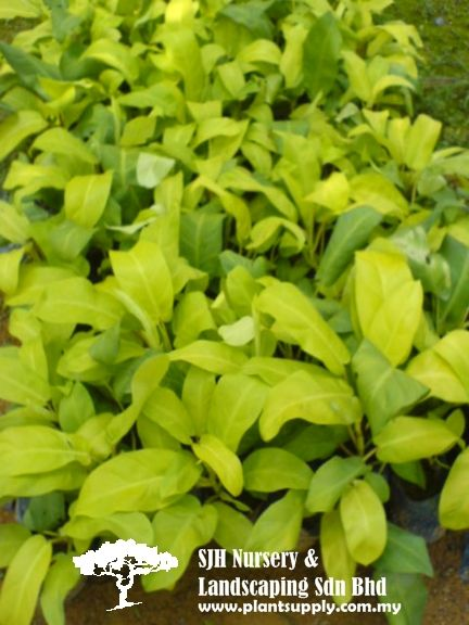 Climbers And Ferns Wholesale Plants Wholesale Plant Nursery
