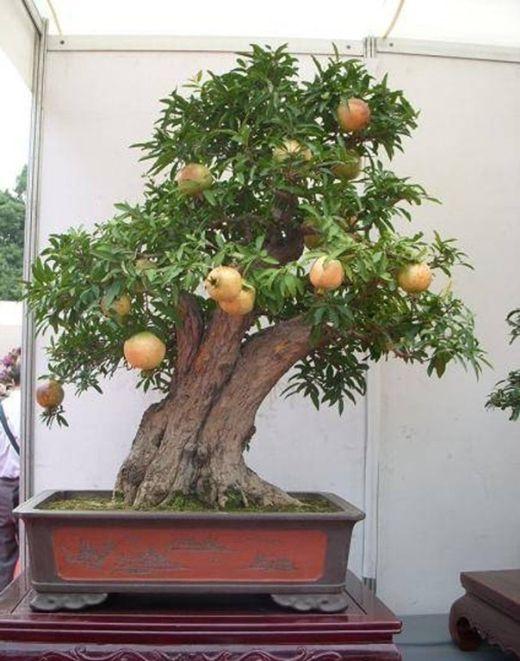 Cây lựu Bonsai - P.2