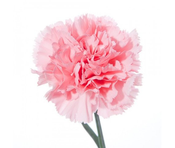 Carnation Organic Perfume Etsy In 2020 Pink Carnations Carnations Carnation Flower