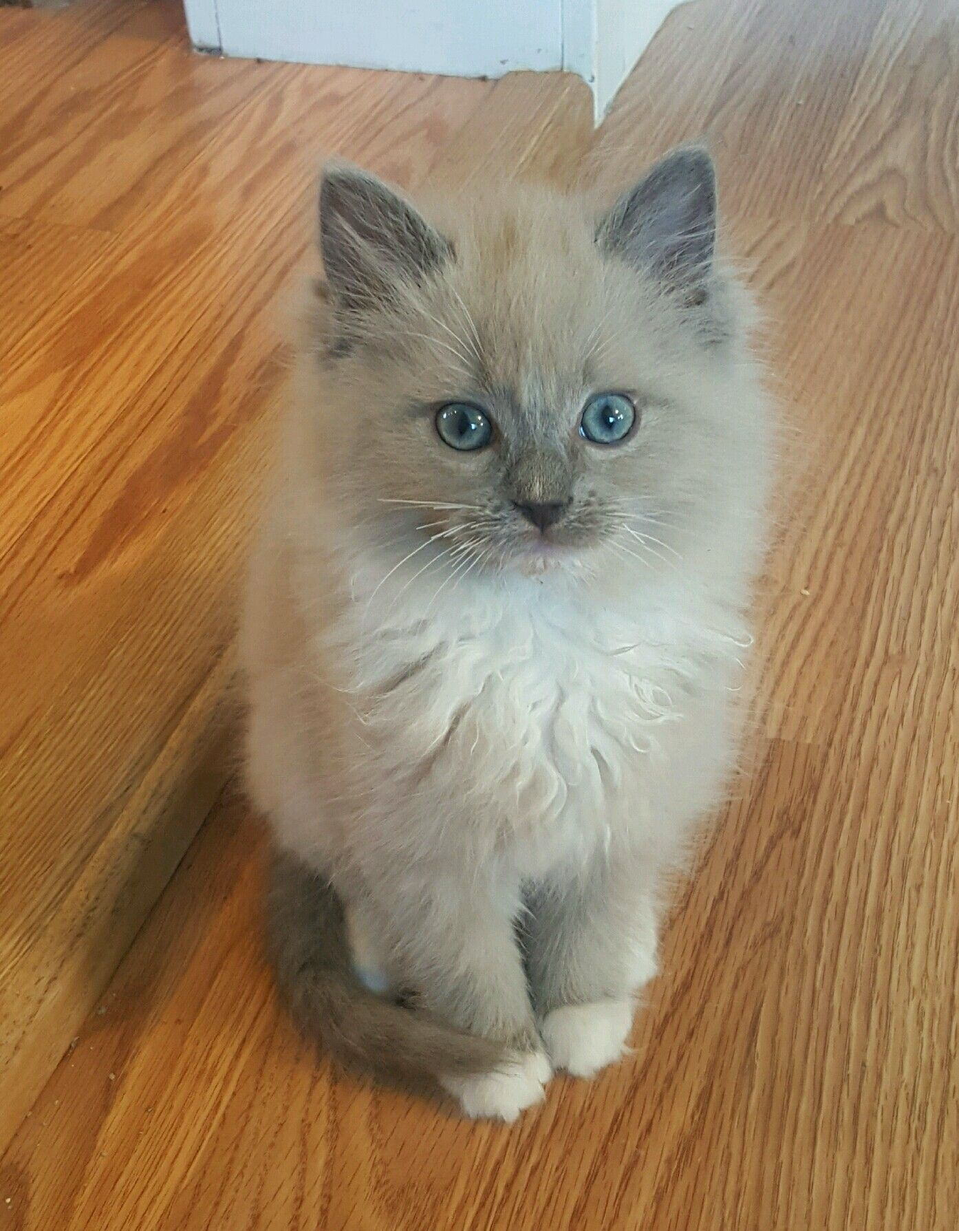 Pin By Nalan Borges On Cats Dogs In 2020 Ragdoll Cat Cats Kittens Cutest