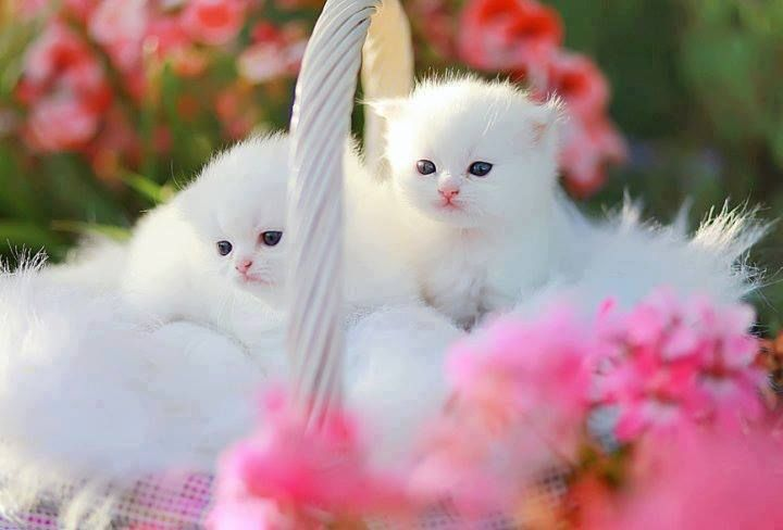 Pretty White Kittens Animals Pink Sweet Flowers Cat Pretty White Pets Kitten Kitty Pets Kittens Cutest Cute Cats And Kittens Kitten Wallpaper