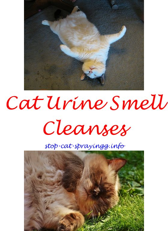 Can Kittens Spray How Do I Get Cat Urine Smell Out Of Carpet   Home Remedies
