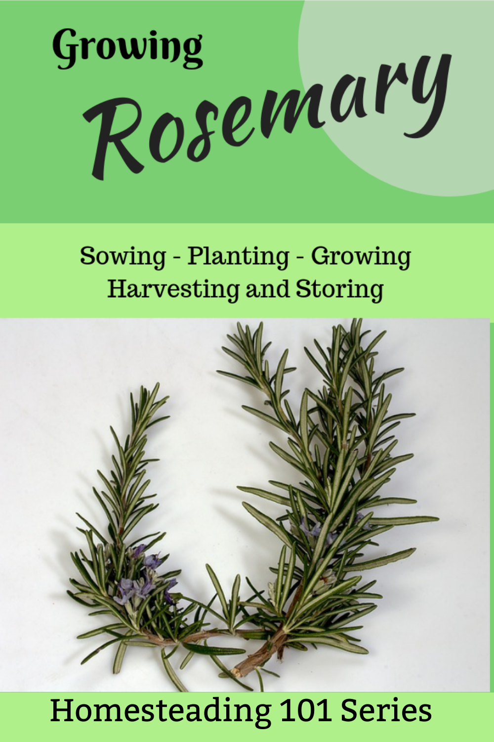 Growing Rosemary Homesteading 101 In 2020 Growing Rosemary Vegetable Garden For Beginners Organic Gardening Tips