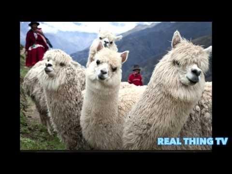 171,850 Dead Alpacas in Peru - YouTube