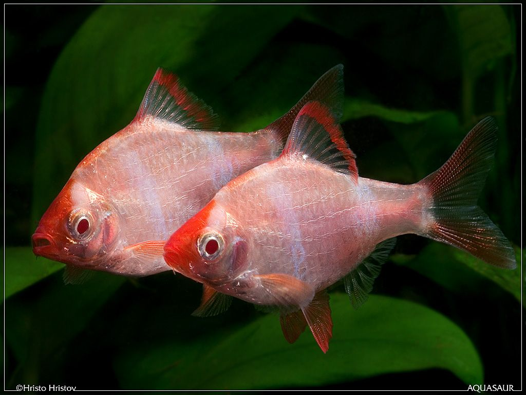 Albino Tiger Barb Fish Aquarium Fish Fresh Water Fish Tank Pet Fish