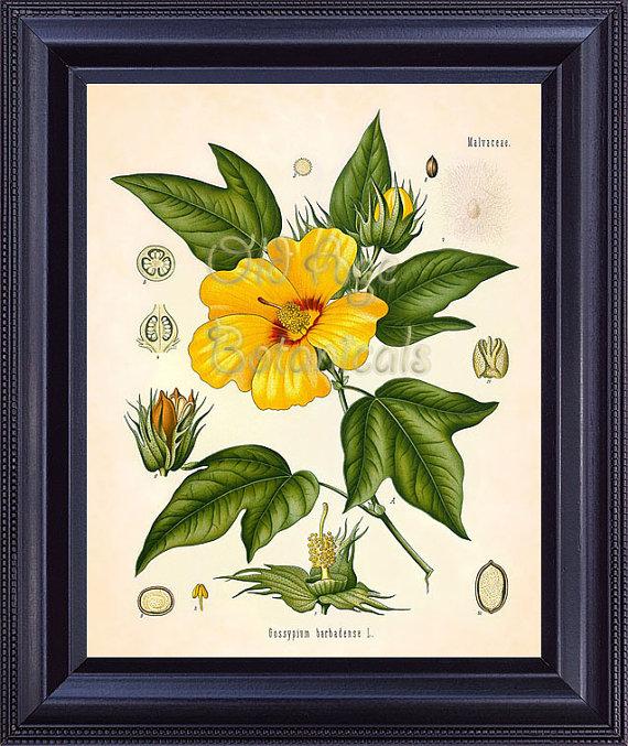 Kohler 8x10 Botanical Print Vintage Art Plate Extra Long STAPLE ...