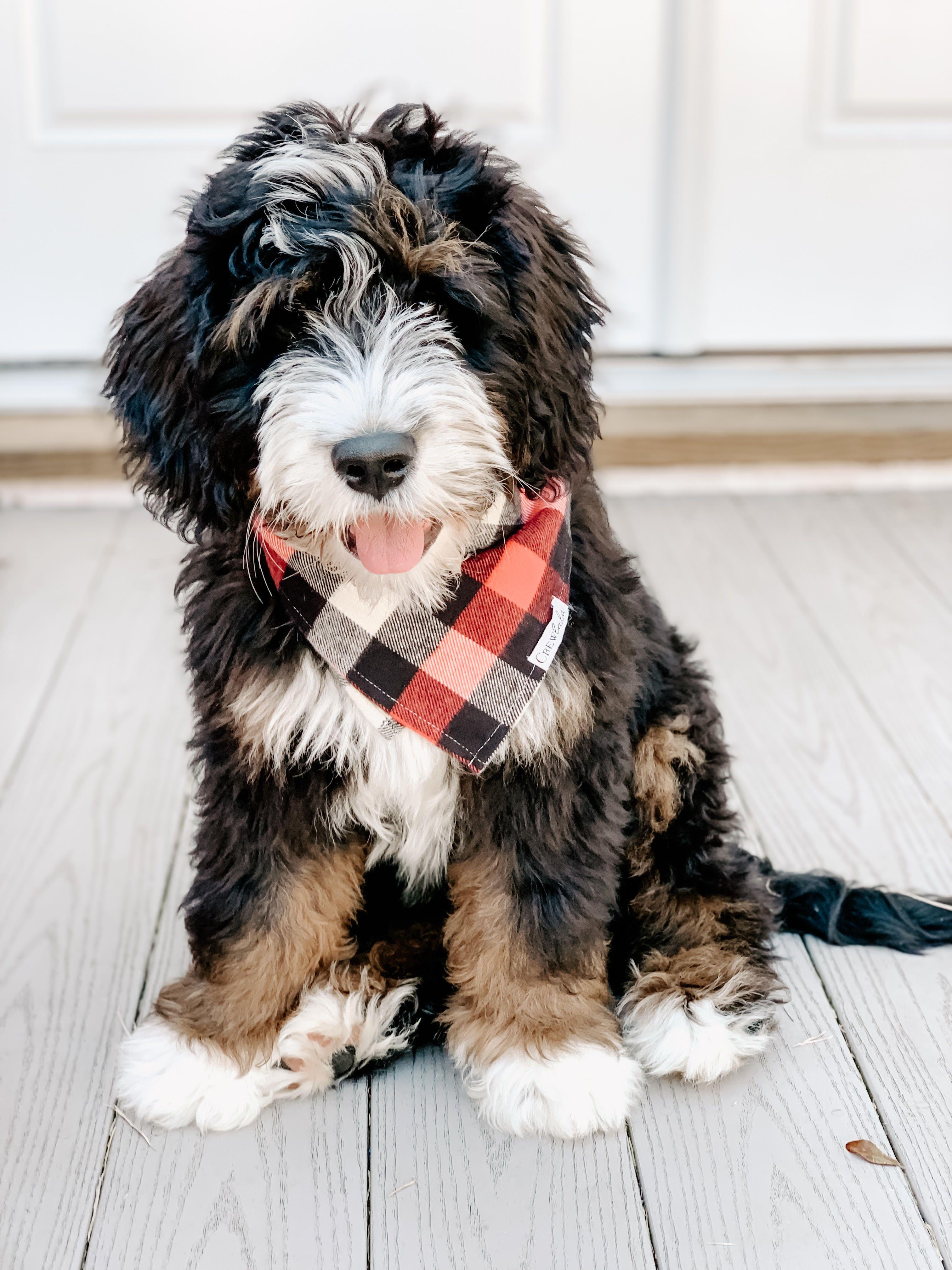 16 weeks old standard bernedoodle pup from swissridge