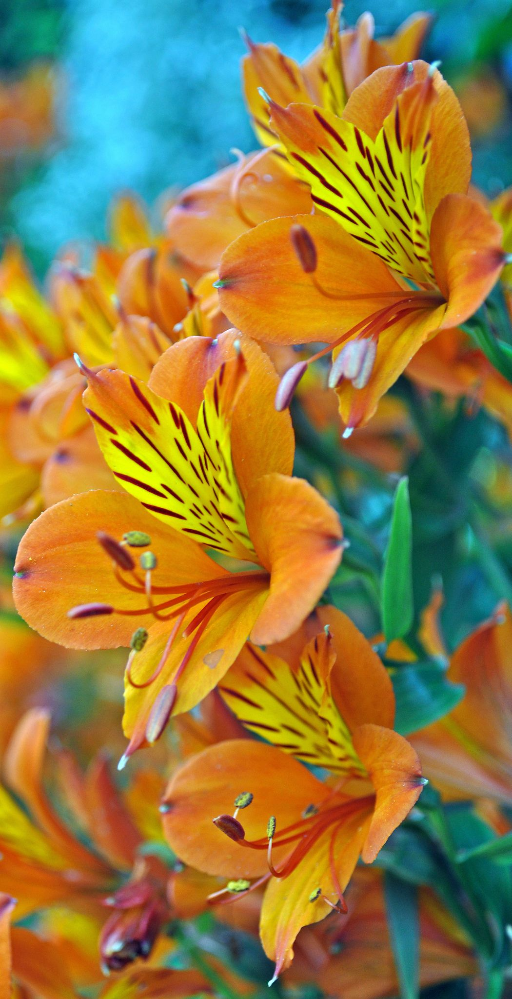 Burning Bright -Stunning Lilies