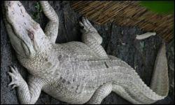 albino-american-alligator