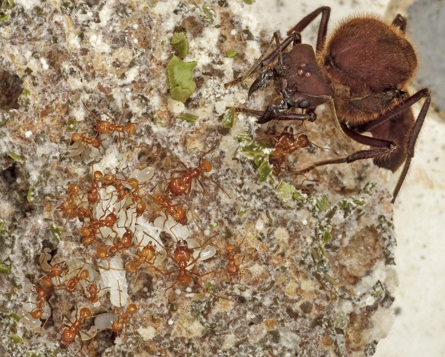 After the age of dinosaurs came the age of ant farmers