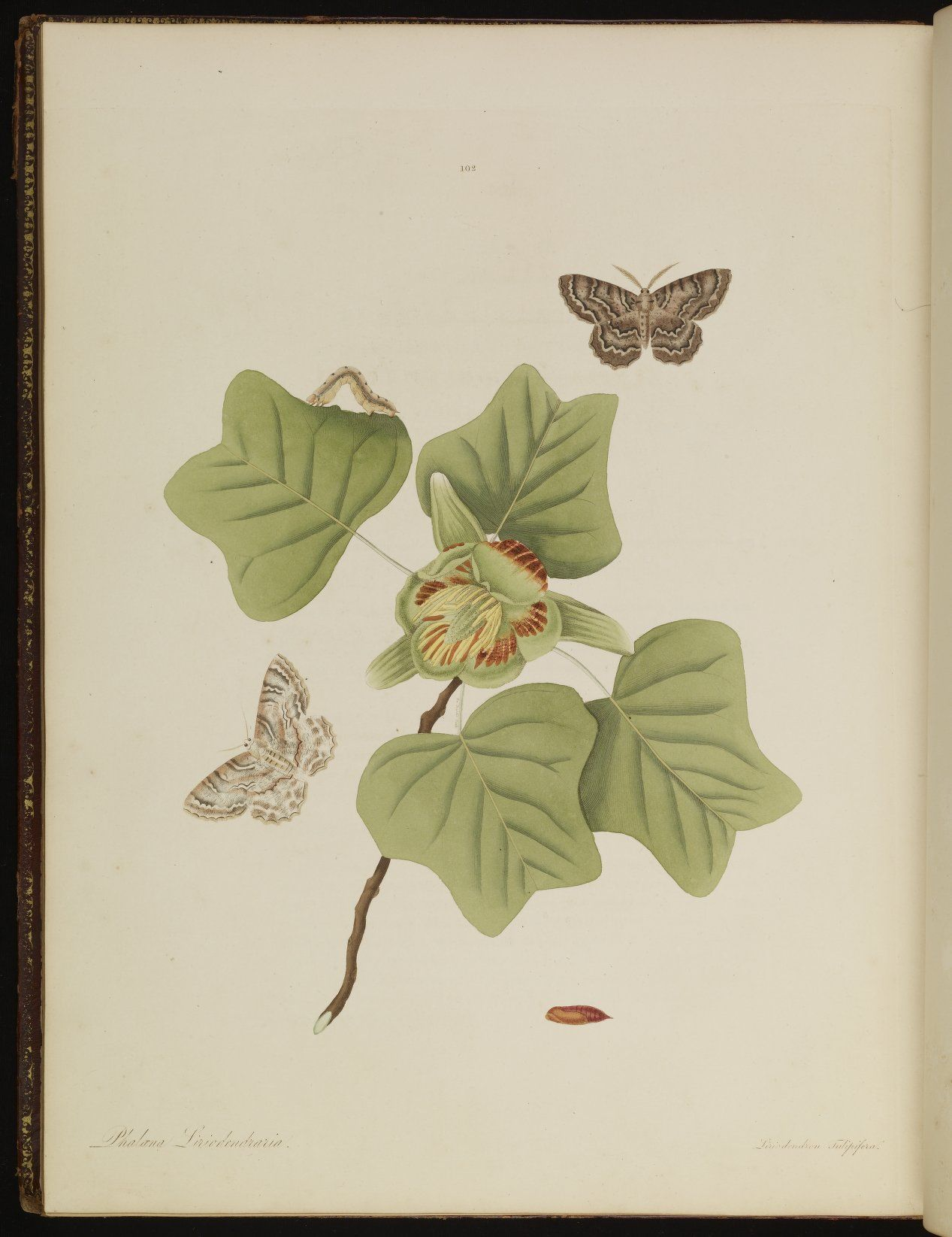 Plate 102 from The natural history of the rarer lepidopterous insects of Georgia. Including their systematic characters, the particulars of their several metamorphoses, and the plants on which they feed. Collected from the observation of Mr. John Abbot, many years resid · Smith, James Edward, 1759-1828 · 1797 · Albert and Shirley Small Special Collections Library, University of Virginia.