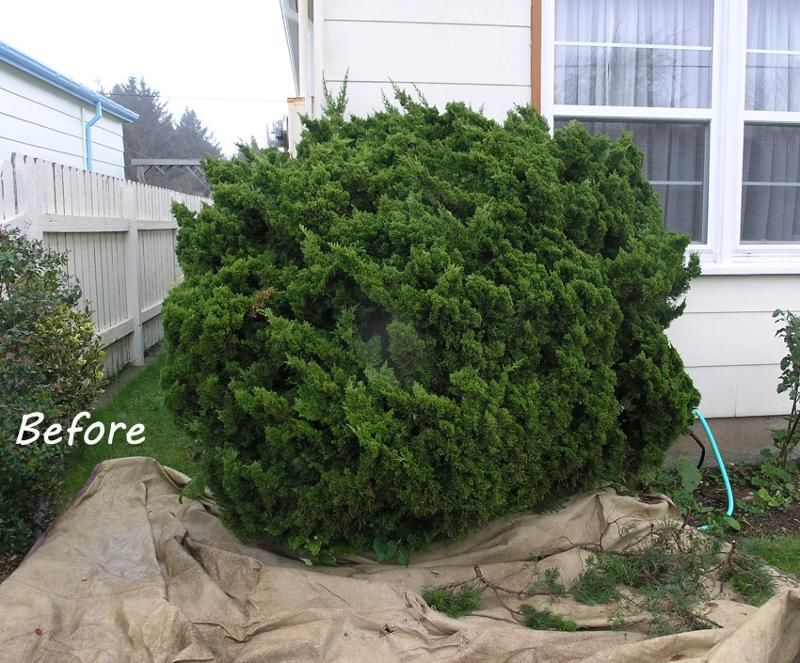 Pruning Conifers Lawn And Garden Japanese Garden Garden Trees