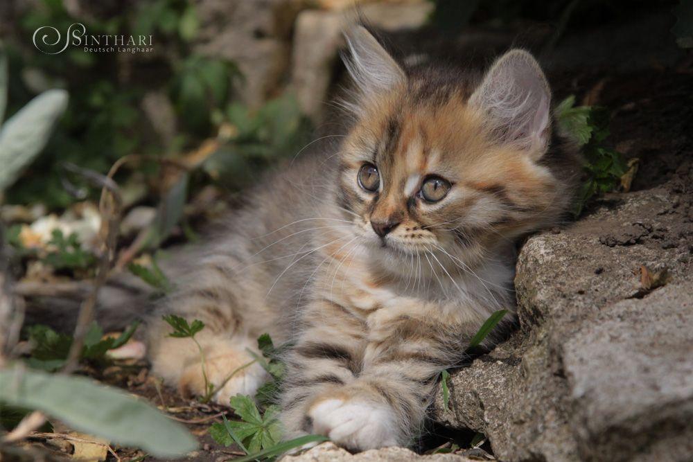 Deutsch Langhaar Von Sinthari Katzen Katzenrassen Katzenbabys
