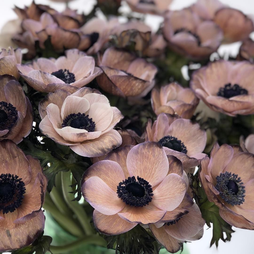 Viproses On Instagram Anemone Brownies Dyed By Viproses So Beautiful This Taupe Sepia Color Anemone Viproses Anemone Sepia Color Anemone Wedding Advice