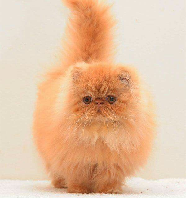 red persian - Almathea Persians Solid & Smoke & Cameo | Persian kittens,  Pretty cats, Cute cats