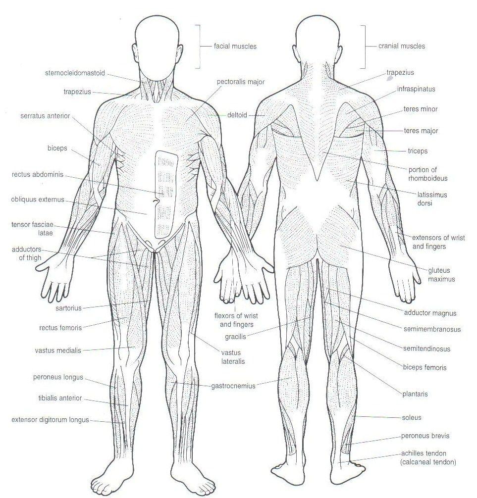muscle blank drawing - Google Search | muscle_blank | Pinterest