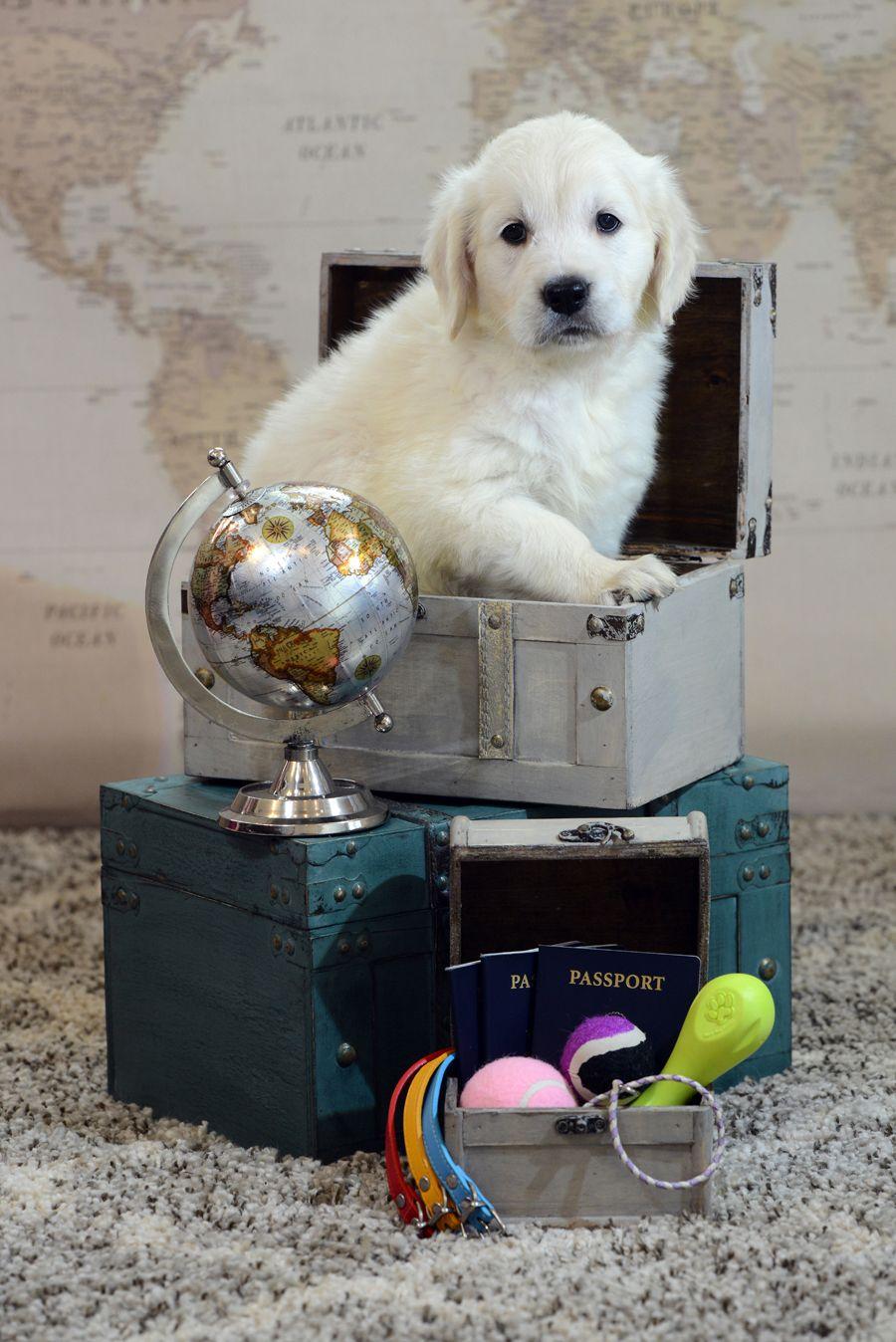 Golden Retriever Puppies Just Born Puppies English Golden