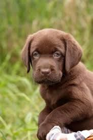 Labrador Retriever Labrador Retriever Puppies Labrador