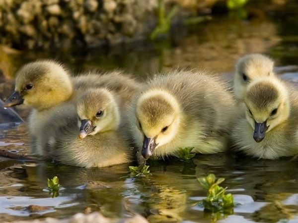 watervogels 24 (Medium)