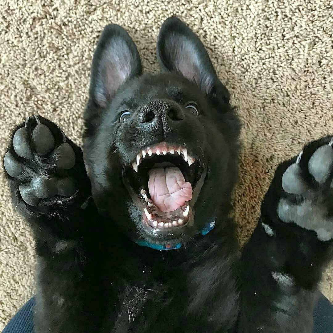Comment Eduquer Son Chien En Seulement 15 Mins Par Jour Petohaku A Pour But D Black German Shepherd Puppies German Shepherd Puppies Black German Shepherd Dog