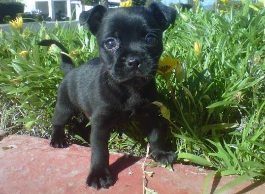Pug And Jack Russell Terrier Jug Chihuahua Mix Puppies