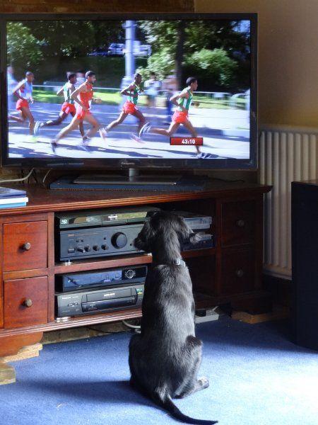 Bramble the flatcoat pup watching the Moscow marathon!