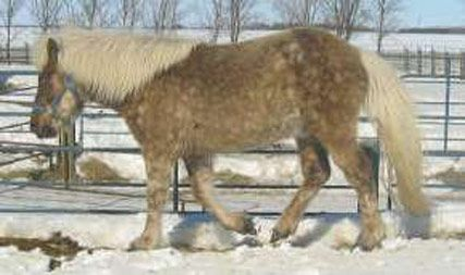Rare silver dapple gelding with white mane and tail.