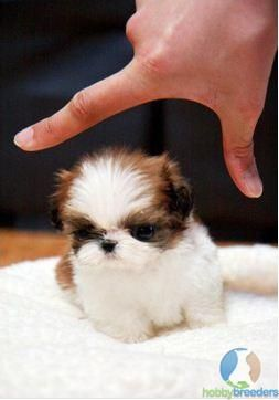 Micro Teacup Shih Tzu Wouldn T You Just Love To Carry This Angel