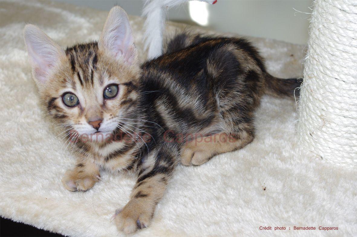 Isildur, 2 mois, chaton bengal mâle LOOF brown marble