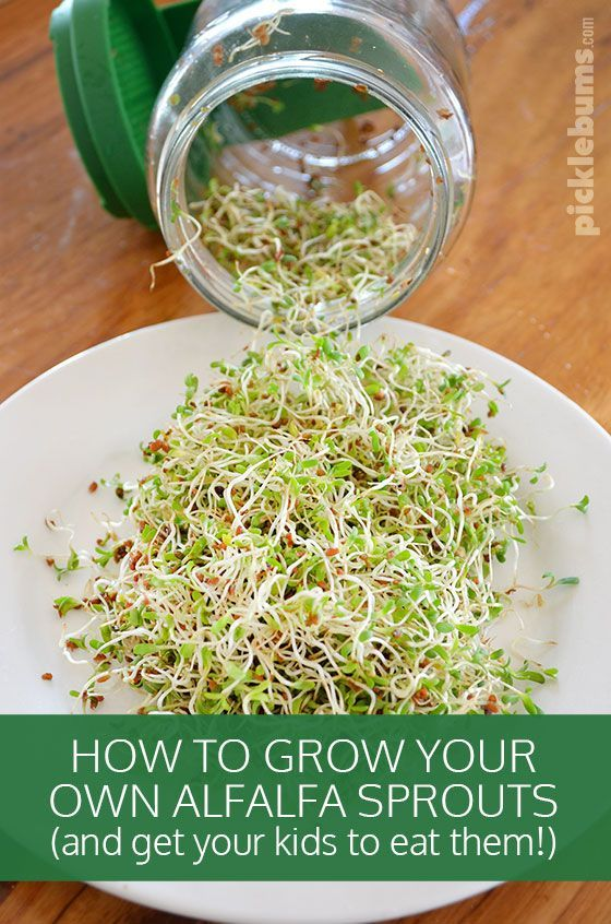 How To Grow Alfalfa Sprouts And Get The Kids To Eat Them Alfalfa Sprouts Recipes Alfalfa Sprouts Alfalfa Sprouts Benefits