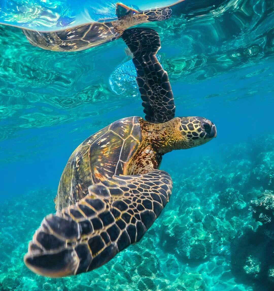 Sea turtle turtles u tortoises pinterest turtle tortoise and