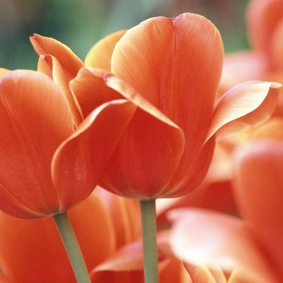 Top Tulips That Come Back Every Year Bulbous Plants Bulb Flowers Tulips