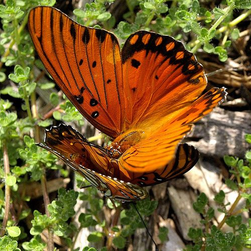 """Fritillary Pairing  These two Gulf Fritillary butterflies are seen """"getting to know each other"""" at the Huntington Library and Botanical Gardens."""