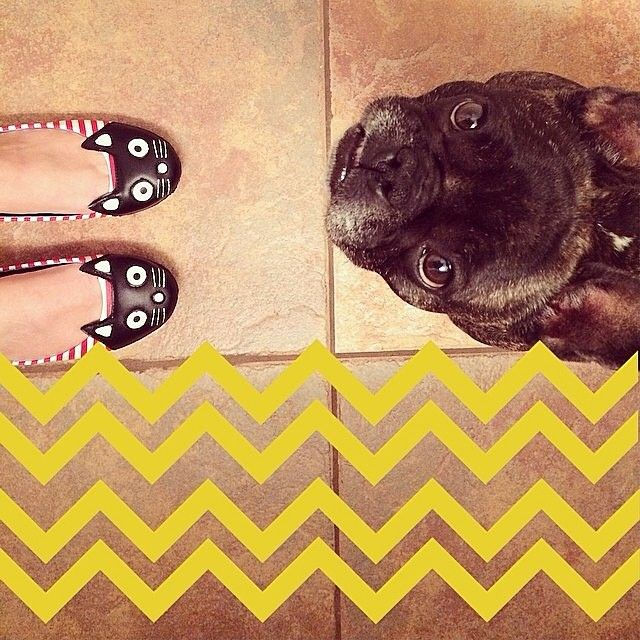 Frenchi face-off with cat flats! #frenchi #frenchbulldog #modcloth Shop cat flats: http://mod.com/1pR37d8