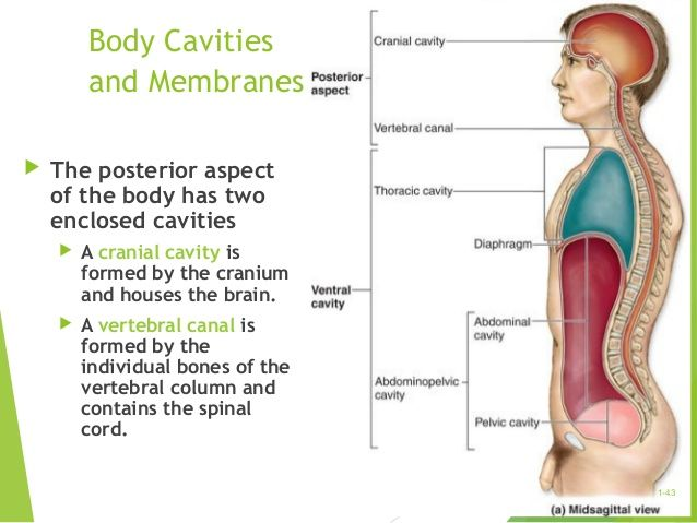 Body Cavities And Membranes The Posterior Aspect Of The Body Has