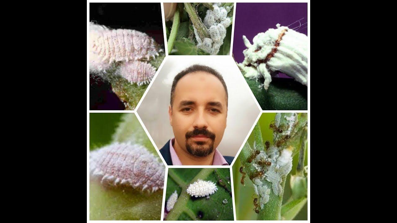 بق دقيقي Mealybug حشرة مدمرة لنبات وكيفية العلاج حلقة 205 تقديم م مراد مرعى Youtube