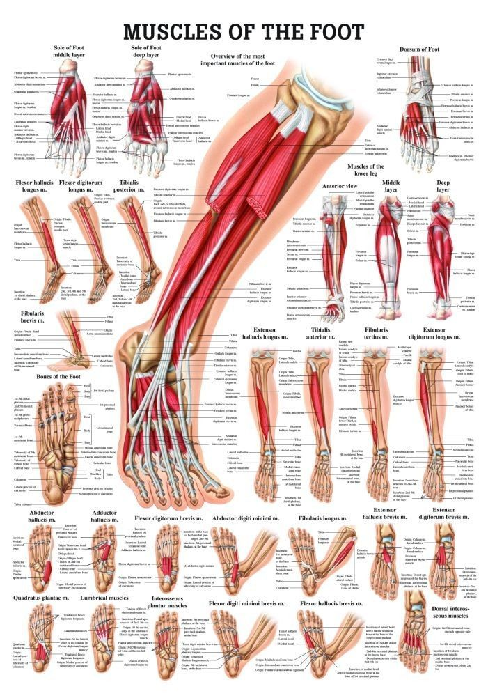 Muscles Of The Foot Laminated Anatomy Chart Massage Therapy