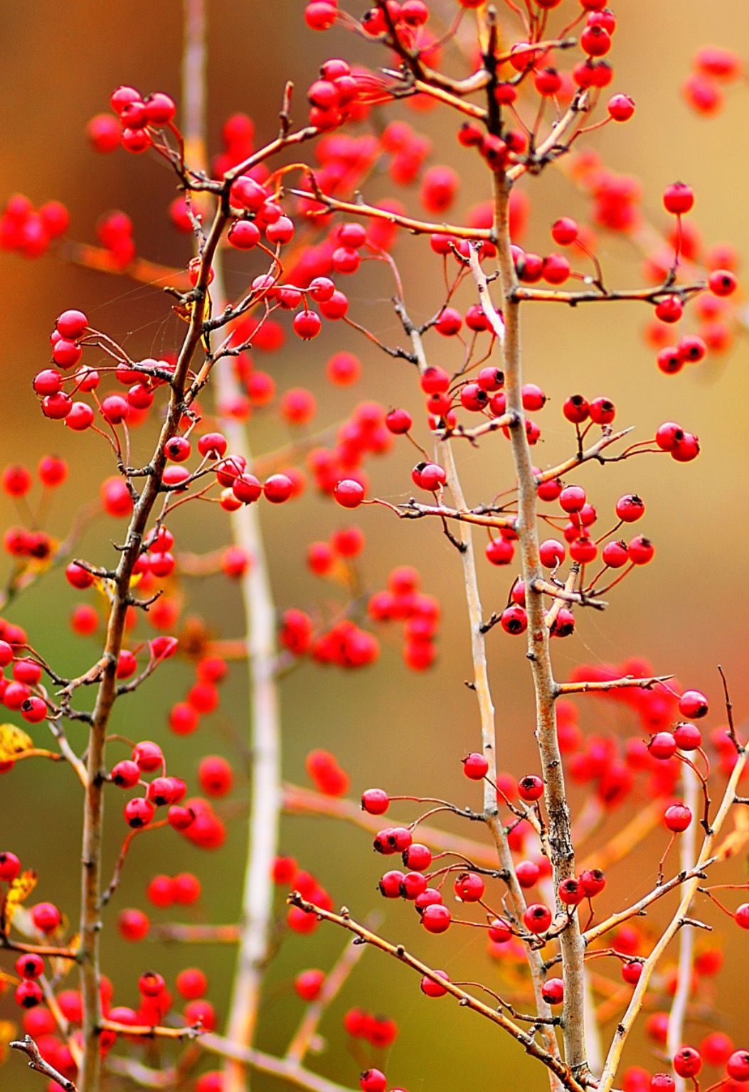 hawthorn and berries by Andriy Solovyov