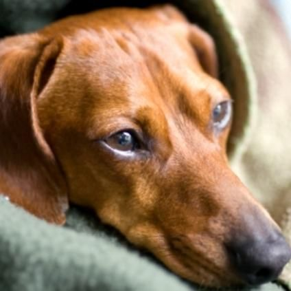 Home Treatments For Kennel Cough Doggiedoo Dog Cough