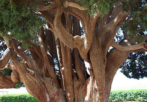 Sarv-e-Abarkooh   Cypress trees, Tree, Old trees