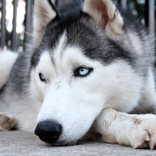 Siberian Husky Miss My Dog Husky Dogs Siberian Husky Dog