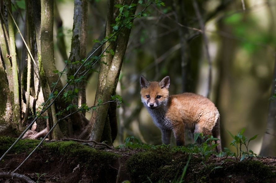 Pin by Lisa Gorman on Animals & nature Pet fox, Fox