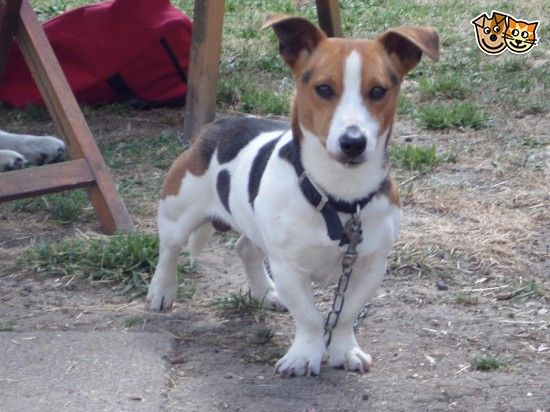 Short Legged Jack Russell For Sale Ely Cambridgeshire Pets4homes Jack Russell Jack Russell For Sale Jack Russell Terrier