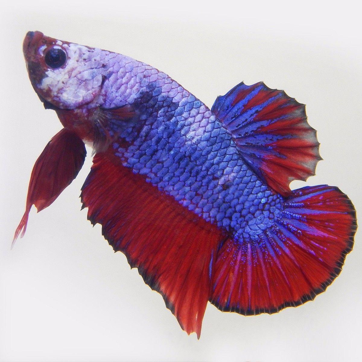 Live Betta Fish Male FANCY MARBLE DRAGON | Betta and Betta fish