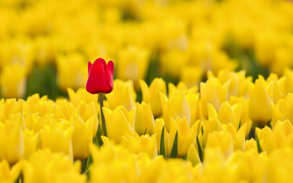 Yellow Tulip Wallpapers Hd Spring Flowers Wallpaper